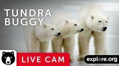 Live Polar Bear Cam provides incredible video of wild polar bears on the shores of Hudson Bay, Canada. Observe polar bears in their natural habitat. Polar Bear Facts, Polar Bears Live, Polar Bears International, Bay Canada, Polar Animals, Wild Animals, Beautiful Sea Creatures, Animal Science, Bear Photos