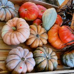 Fall mini pumpkins and gourds on weathered, rustic wooden table in colors of orange, peach, cream, green and gray. Country, cottage style decor, decorating. Simple life. Farmers market harvest.