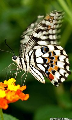 Lime Swallowtail #Butterfly