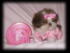I am obsessed with Shih tzus.  I have 3 of my own, but I dont have THIS one lol.   Ahh love  their little faces!         teacup shih tzu - Google Search