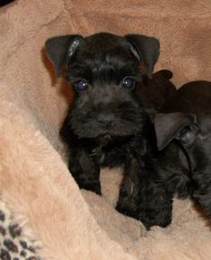 Click to see the absolute cutest puppy Miniature Schnauzer, Bolt!