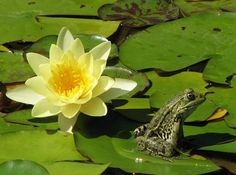 Toad well camoflauged in the lilies Frog Pictures, Flower Pictures, Frog Pics, Lotus, Jumping Frog, Funny Frogs, Water Nymphs, Pond Life, Frog And Toad