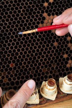 Using a spatula,   a beekeeper recovers   bee eggs for breeding   queens.