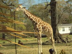 Jerry, the giraffe at Gone Wild Safari, Hooper Road, Pineville, LA - Jerry likes carrots so much, his diet had to be restricted