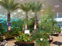 Temporary cycad and fern garden at #Singapore Airport. Singapore is a GREEN City. :)