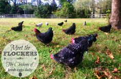 Fresh Eggs Daily®: Meet the Flockers - The Chickens of Fresh Eggs Daily