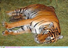 L.A. Zoo Welcomes Sumatran TigerCubs