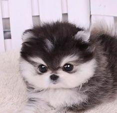 Micro Husky Teacup | Teacup Shih Tzu Puppies by Maja Pesjak