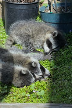 Baby Raccoons by Hyperflange Industries @ Flickr - Photo Sharing!