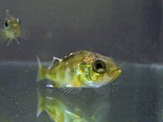 Rising Ocean Acidification Leads to Anxiety in Fish - Technology Org