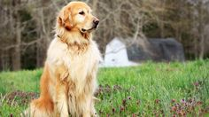 golden retriever dog wallpaper