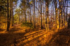 Wide angle landscape photograph of the New Jersey Pinelands with pines casting strong shadows and leading lines at golden hour.