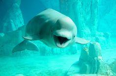 baby beluga in the deep blue sea. it looks so happy :D