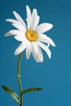 I picked this flower just this morning for you… I chose daisy because someone said it's a friendly flower 🙂 Wonderful Flowers, Happy Flowers, White Flowers, Beautiful Flowers, My Flower, Flower Power, Driving Miss Daisy, Sunflowers And Daisies, Blue Daisies