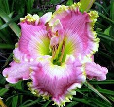 Perfume Hybrid Mix Color Daylily Seed,(Not Lily Bulbs),New Day Lily Bonsai Potted Plant Lilium Flower For Home Garden Tropical Flowers, Exotic Flowers, Beautiful Flowers, Hawaiian Flowers, Cactus Flower, Purple Flowers, Bonsai Plants, Garden Plants, Potted Plants