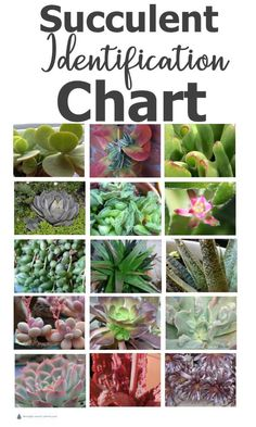 Succulent Identification Chart - gathering descriptions and names for all kinds . - Succulent Identification Chart – gathering descriptions and names for all kinds of succulents is - Types Of Succulents Plants, Flowering Succulents, Propagating Succulents, Growing Succulents, Succulents In Containers, Cacti And Succulents, Planting Succulents, Cactus Plants, Container Flowers