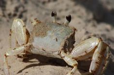 Texas Parks and Wildlife shared Texas Wildlife Diversity Program - Texas Parks and Wildlife Dept's photo.  This Ghost Crab had its burrow invaded by Red Imported Fire Ants. These non-native ants were spread by ships in the 1930s and have been causing problems for native wildlife ever since. See Fire Ant FAQs at http://fireant.tamu.edu/about/faq.php