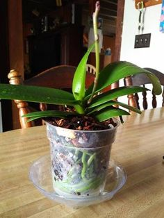 Repotted Orchid #1 in fresh Better-Gro Orchid Potting Mix