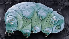 Coloured scanning electron micrograph (SEM) of a water bear, or tardigrade (phylum Tardigrada). Scanning Electron Microscope Images, Molecular Genetics, Tardigrade, Science Photos, Science News, Life Science, Human Dna, Microscopic Images, Naturaleza