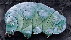 Coloured scanning electron micrograph (SEM) of a water bear, or tardigrade (phylum Tardigrada). Scanning Electron Microscope Images, Molecular Genetics, Basalt Rock, Tardigrade, Science Photos, Science News, Life Science, Microscopic Images, Global Warming