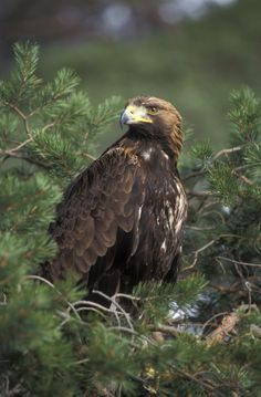 Golden Eagle | Golden eagle This is the type of eagle you will normally see in kentucky.
