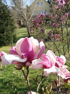 Magnolia soulangiana.