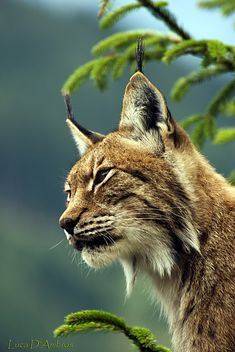 Lynx -  Lynne once had the incredible experience of having one of these sit at her feet for ten minutes ...yes, in the wild!