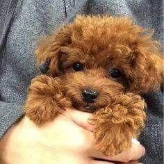Medium Poodle Poodle Puppies Cute Puppies Cute Dogs Tea Cup