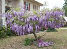 Wisteria sinensis is the ever-popular Chinese Wisteria with fragrant, lilac- Wisteria Sinensis, Wisteria Plant, Purple Wisteria, Unusual Flowers, Rare Flowers, Amazing Flowers, Rare Plants, Exotic Plants, Chinese Wisteria