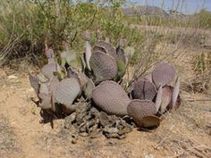 A Cactus Odyssey in Arizona On-line Guide to the positive identification of Members of the Cactus Family Opuntia Basilaris, Agaves, Plant Species, Cacti, Garden Sculpture, Pear, Succulents, Natural, Outdoor Decor