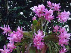 Disocactus phillanthoides