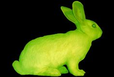 Eduardo Kac, Transgenic Bunny (Alba), 2000- this rabbit's gene's were splices with a glow-in-the-dark jellyfish- he was going to use her for installations and video but the lab cannot release her.  (science/art?)