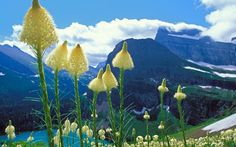 Bear Grass.  Glacier National Park
