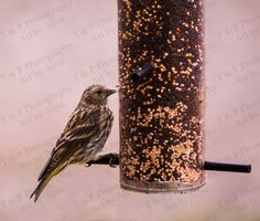 Bird photo Siskin Pine Siskin picture fine art 8 x 10 turtlesandpeace gift nature - pinned by pin4etsy.com