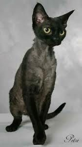 Okay. I've been on a cat kick lately. I'd get this one. Because it's hypoallergenic and so weird lookin' that I think it's cute. Devon Rex.