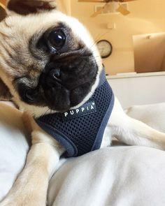 Cute pug pup