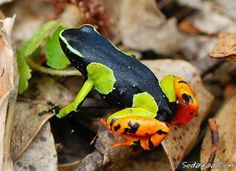 Beautiful, full color, But Deadly! This is the Most Deadly Poison Frogs With Only Lived in the Amazon Rain Fore