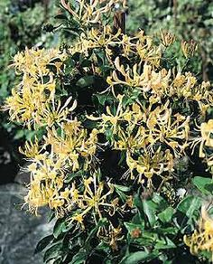 English Wild Honeysuckle  I was told this plant attracts hummingbirds and butterflies.