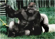 six pack abs Nature Animals, Animals And Pets, Baby Animals, Cute Animals, Mundo Animal, My Animal, Silverback Gorilla, Chimpanzee, Les Innocents