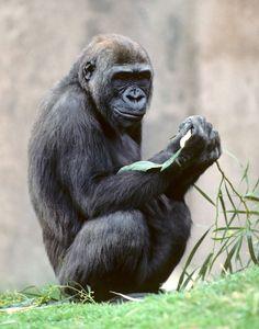 gorilla family hand zoo - Pesquisa Google
