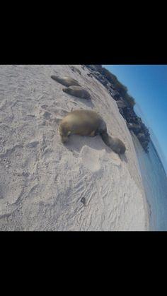 A Galapagos SeaLion lazes in the sunshine on a sandy beach. #WildLifeTravel