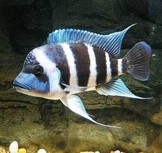 Frontoza- Fresh Water Cichlid minimum tank size 70 gallons. Carnivore. Can grow up to 4inches