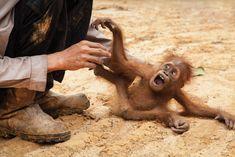 Image result for baby orangutan rescued