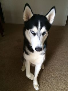 How to Train a Siberian Husky (with Pictures) - wikiHow