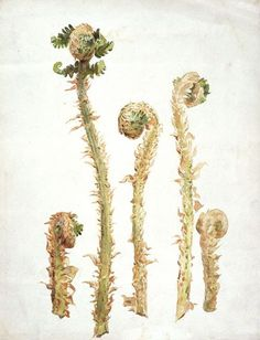 Studies of hart's-tongue fern | Beatrix Potter | V&A Search the Collections