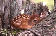 whitetail deer photographs | Whitetail Deer: