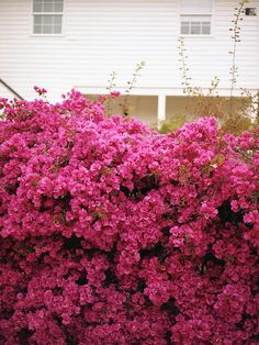 (via absolutely beautiful things: Pink Garden Wall) Pink Garden, Dream Garden, Home And Garden, Pretty In Pink, Pink Flowers, Beautiful Flowers, Beautiful Things, Fuchsia Flower, Bright Flowers