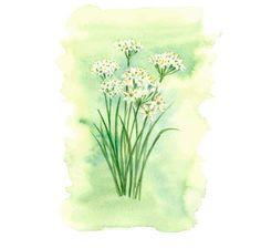 ニラの花,高塚由子,Yoshiko,Taaktsuka,水彩画,Watercolor,イラスト