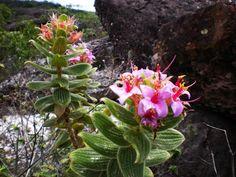 flora campo rupestre - Pesquisa Google