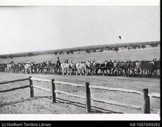 A donkey team pulling a fire plough. Man riding a donkey, centre. Post and rail fence foreground. 1930
